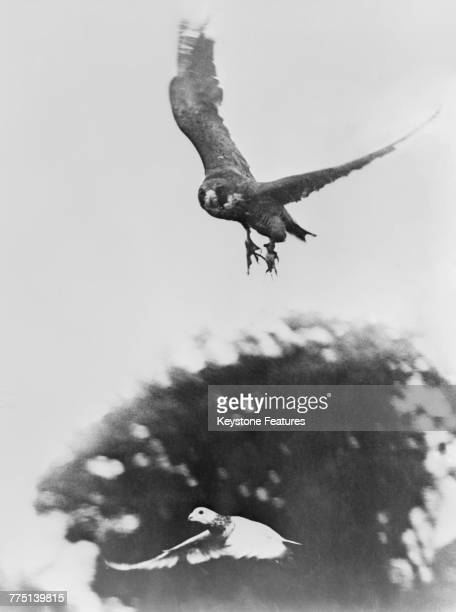 Ursula a trained peregrine falcon swoops on a pigeon June 1945 The bird is one of a number of falcons used by British forces in World War II to...