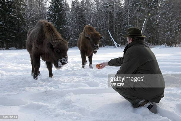 Ursula HYZY Forest chief Jerzy Dackiewicz hands an apple to two bison on February 17 2009 in the Bialowieza National Park Some 800 bison roam freely...