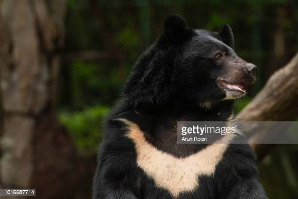 Ursus thibetanus (Asiatic Black Bear, Himalayan Black Bear)
