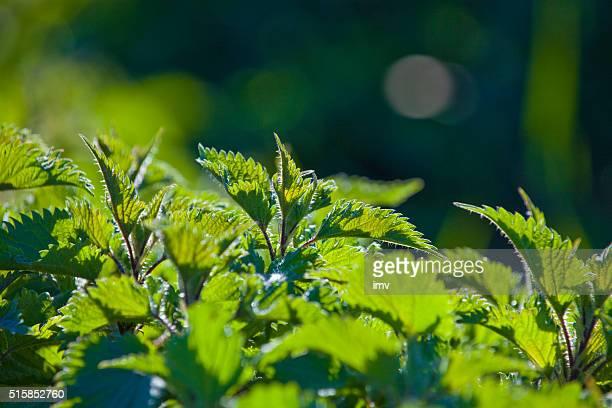 Urtica auf Sonnenlicht
