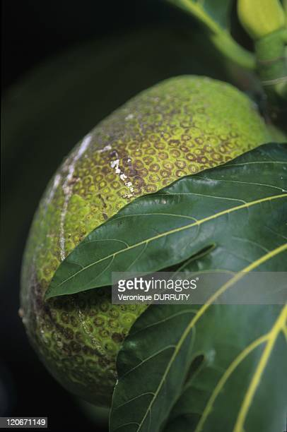 Uru in Tahiti Nui in Tahiti island Society archipelago French Polynesia Uru French Breadfruit Marquesas and Gambier Mei Other islands of French...