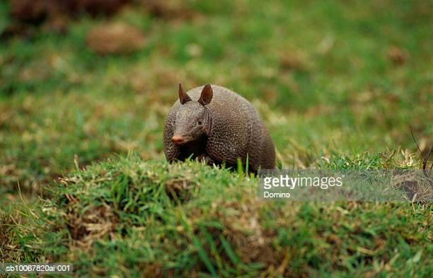 Uruguay, Lavalleja, armadillo on grass