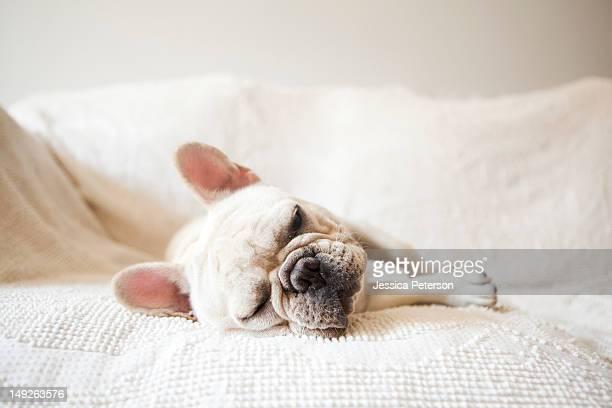 Usa, New York State, New York City, Portrait of French Bulldog sleeping on sofa