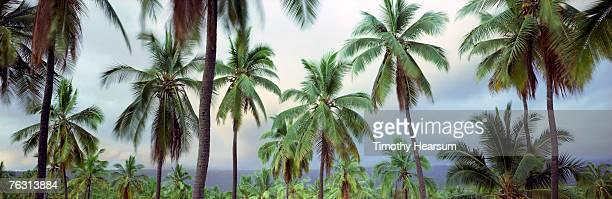 usa,hawaii,big island,pu'uhonua o honaunau national park,coconut grove - timothy hearsum stock-fotos und bilder
