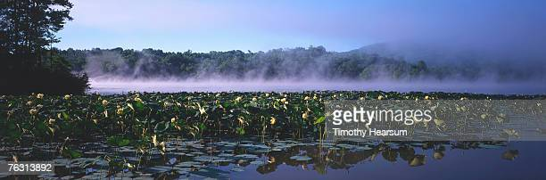 usa,ohio,seneca lake,morning mist over inlet filled with water lilies - timothy hearsum fotografías e imágenes de stock