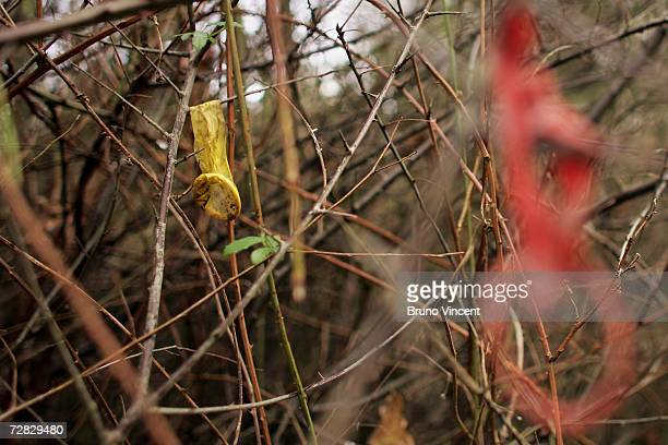 A used condom hangs from a tree in a country lane used by Prostitutes on December 15 2006 in Ipswich England Suffolk police confirmed today that the...