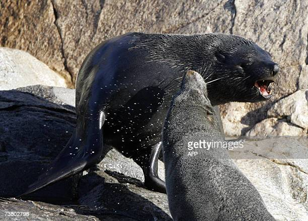 Two South American Fur Seals fight on a small island on March 31st in the Beagle Channel near Ushuaia the capital of the Argentine province of Tierra...