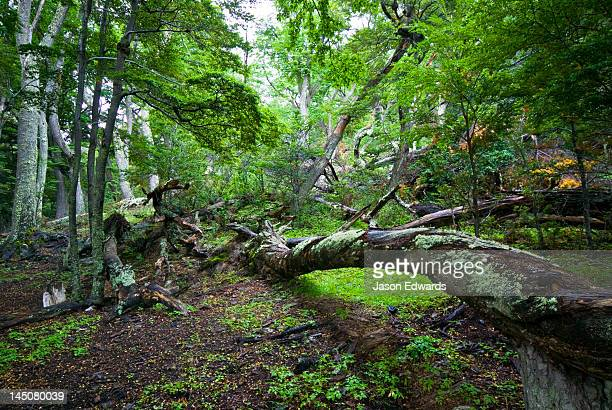 Moss covers the trunk of a fallen beech tree in a forest clearing.