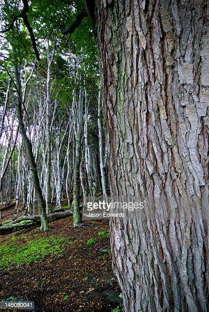 The ribbed bark of a beech tree trunk in a mountain forest clearing.