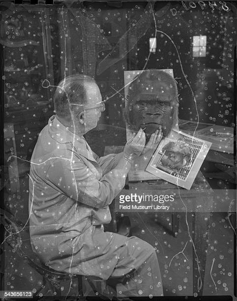 Using a photographic print mounted on board showing Bushman the Lincoln Park Zoo gorilla in life in his cage Leon Walters applies the finishing...