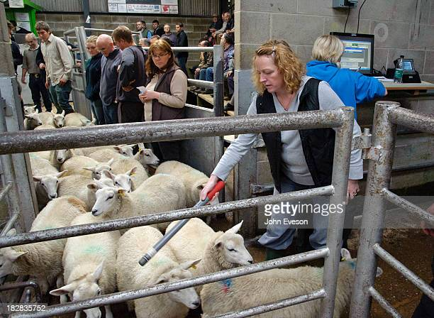 Using a wand to read the electronic ear tags in lambs at Holmfirth livestock market.