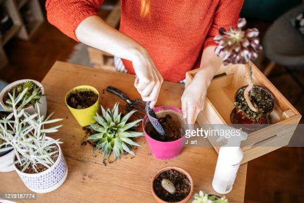 using gardening equipment for planting. - succulent stock pictures, royalty-free photos & images