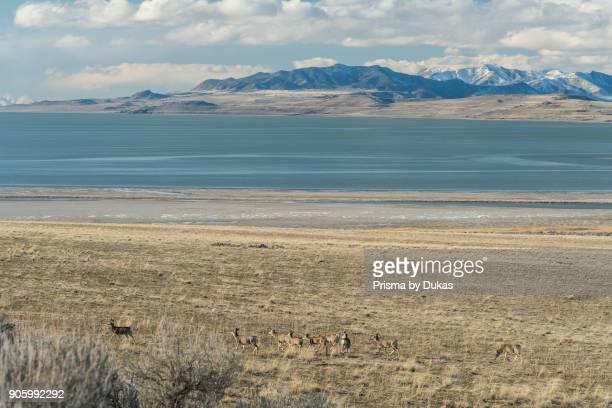 USA Utah Antelope Island State Park Great Salt Lake Great Basin herd of Mule deer