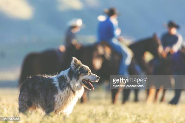 utah cow dogs western outdoors and rodeo stampede roundup riding horses herding livestock - livestock stock pictures, royalty-free photos & images