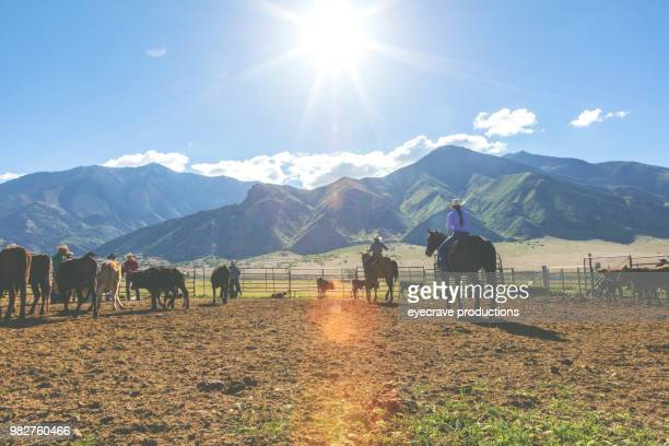 utah cowboy cowgirl western outdoors and rodeo stampede roundup riding horses herding livestock - livestock branding stock photos and pictures