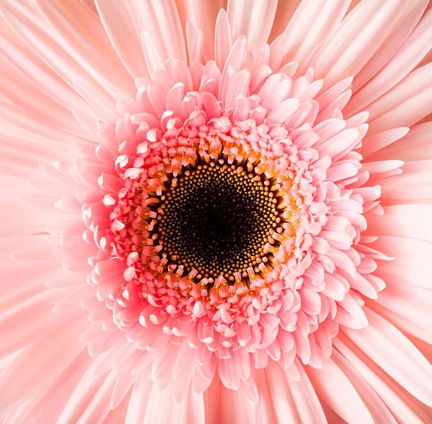 USA, Utah, Lehi, Close-up of pink daisy