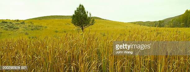 USA, Utah, Ogden Canyon, tree in field, autumn