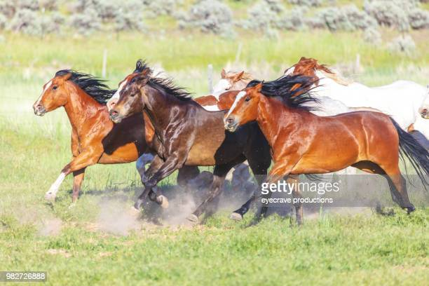 utah saddle bronc running herd roundup bareback riding western outdoors and rodeo stampede riding horses herding livestock - bucking stock photos and pictures