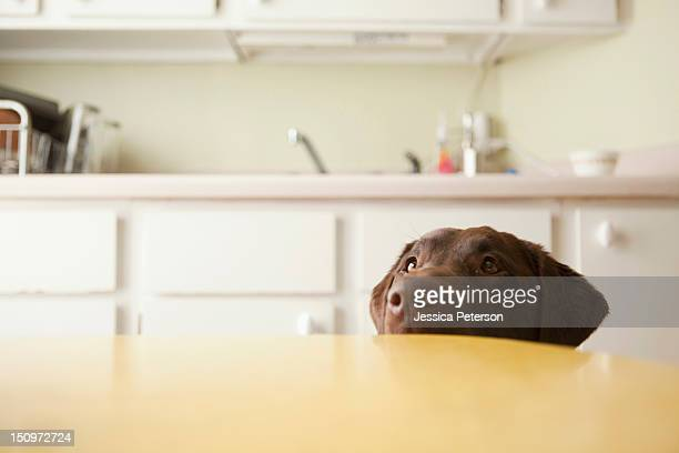 usa, utah, salt lake city, dog's head emerging from beneath table - canine stock pictures, royalty-free photos & images