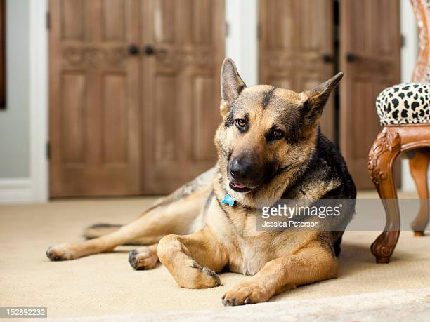usa, utah, salt lake, portrait of german shepard - cão pastor alemão - fotografias e filmes do acervo