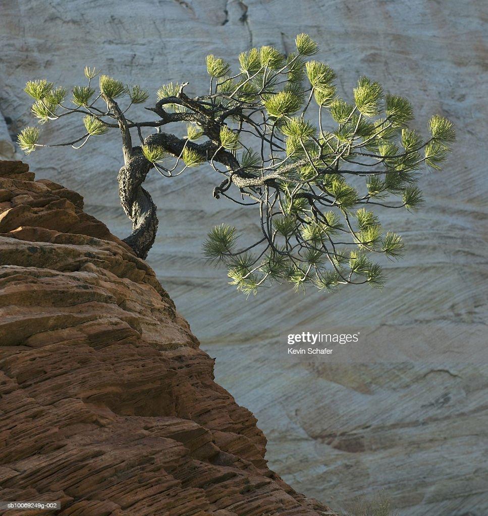 USA, Utah, Zion National Park, Ponderosa pine (Pinus ponderosa) on sandstone outcrop : Stockfoto