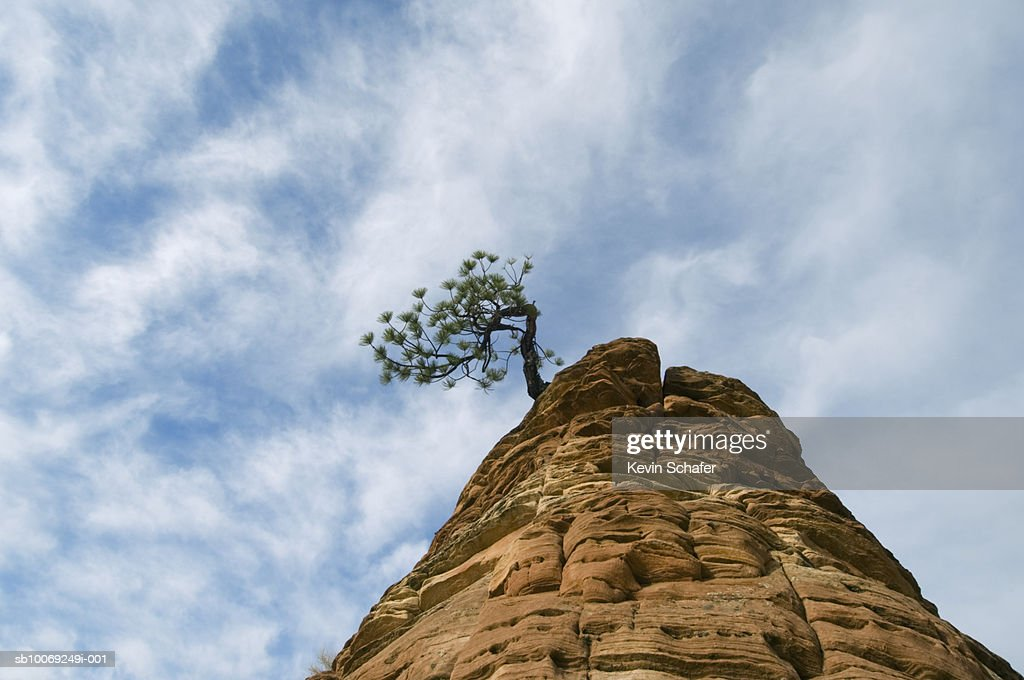 USA, Utah, Zion National Park, Ponderosa pine (Pinus ponderosa) on sandstone outcrop : Stockfoto