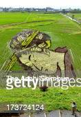 Utamaro's famous ukiyoe work of 'Ogiya Hanaogi' appears on 30 ares rice paddy on July 4 2013 in Oshu Iwate Japan The art is drawn with using...