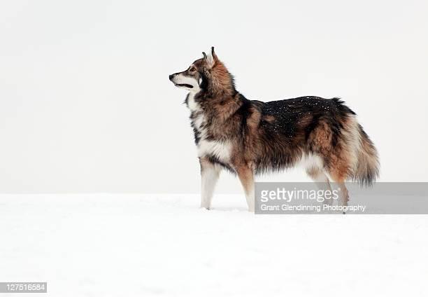 Utonagan dog