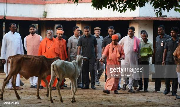 Uttar Pradesh Chief Minister and Mahant of Gorakhdham Temple Yogi Adityanath feeding cows at Gaushala inside the Gorakhnath Temple on March 26 2017...