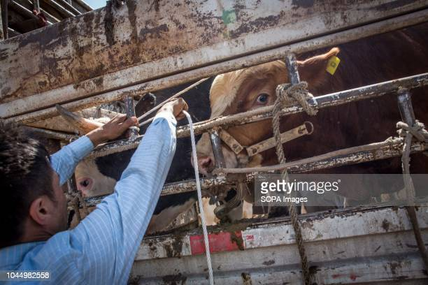 Uyghur farmer attach a cow at his truck at a livestock market in Kashgar city northwestern Xinjiang Uyghur Autonomous Region in China The Kashgar...
