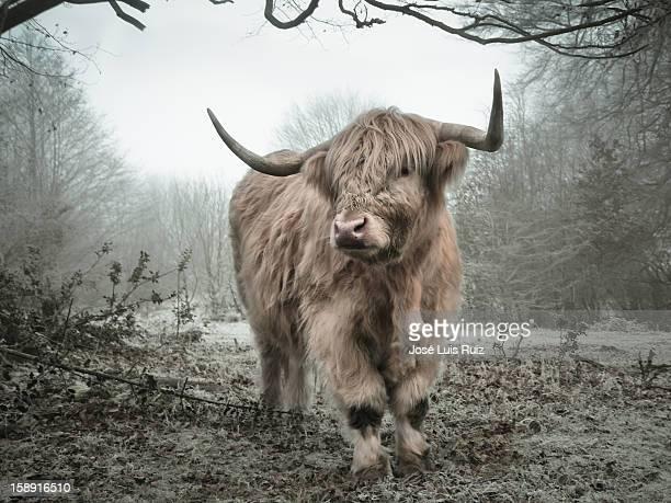 Vaca lanuda