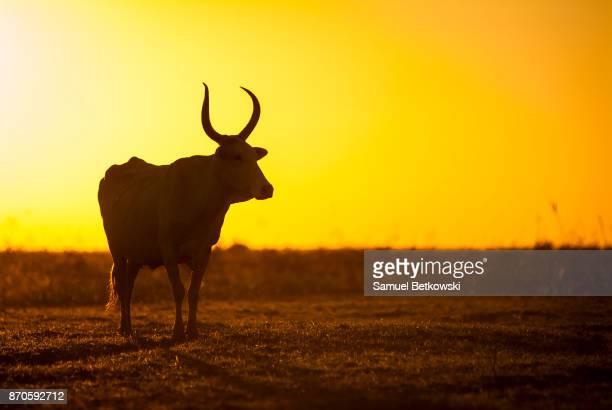 vaca solitária no pasto em contraluz no entardecer - mato grosso state stock pictures, royalty-free photos & images