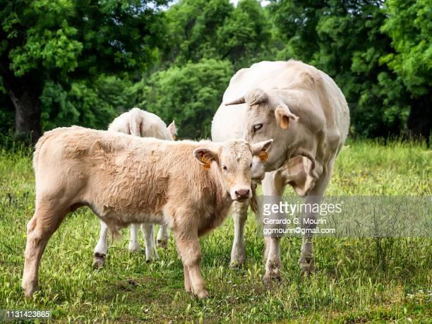 vacas en un prado español - rústico stock pictures, royalty-free photos & images