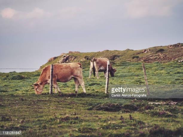vacas pastando - galicia fotografías e imágenes de stock