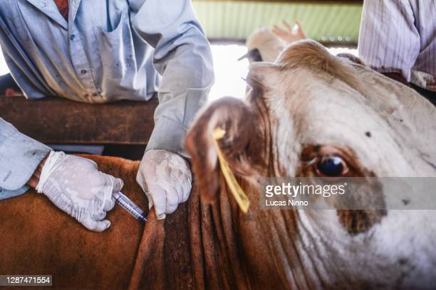 vaccination of livestock - zoonotic diseases stock pictures, royalty-free photos & images