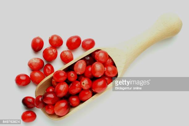 Vaccinium Macrocarpon Also Called Large Cranberry American Cranberry and Bearberry Is A Species Of Cranberry