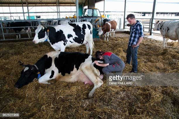Vache allongée se faisant soigner par le vétérinaire dans l'aire d'attente de la salle de traite de la ferme industrielle des 1000 vaches le 10 juin...