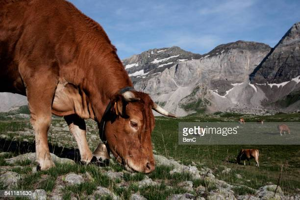 vache au cirque de troumouse - bétail photos et images de collection