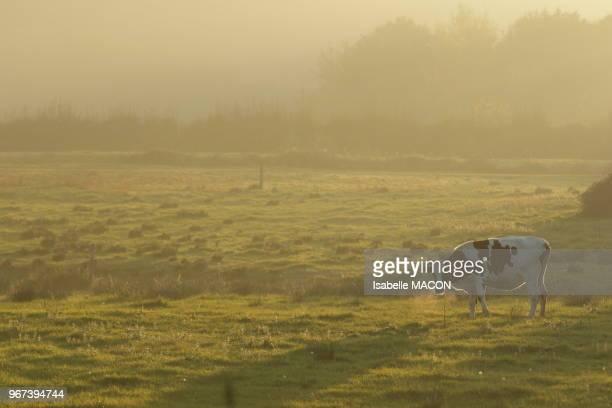 Vache dans une pâture au lever de soleil Essonne France