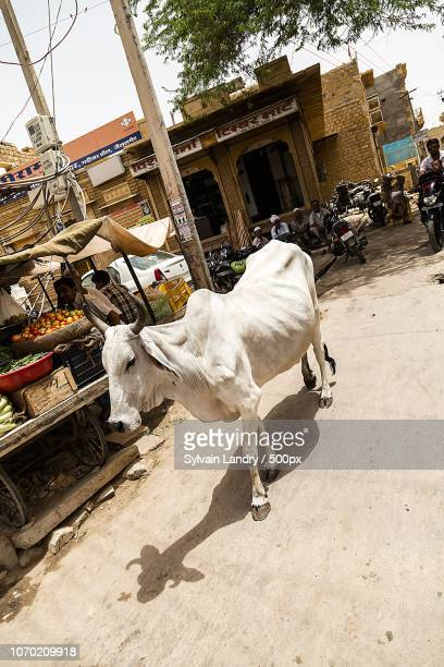 vache inde - india cow - vache stock photos and pictures