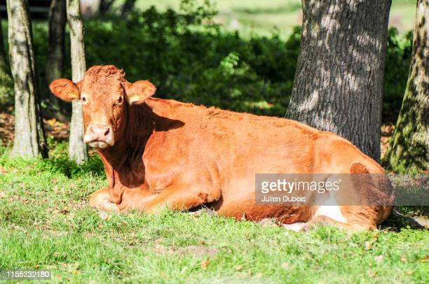vache-2 - vache stock photos and pictures