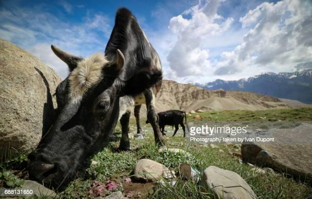 Vaches broutant les pâturages montagnards