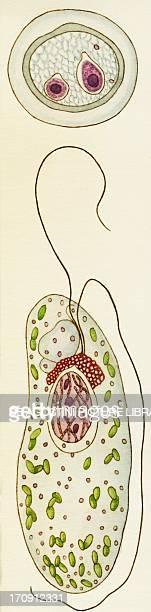 Vacuolaria virescens Flagellated Protozoan Drawing