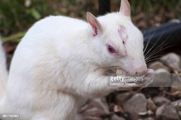 Vadnais Heights Minnesota Albino squirrel chewing on a rock from a rock garden Eastern Gray Squirrel Sciurus carolinensis