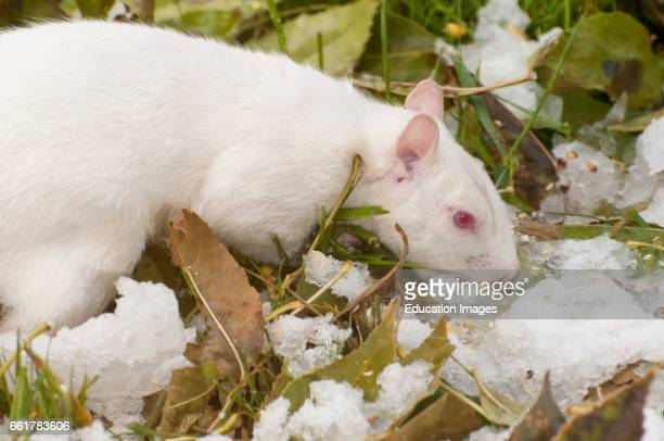 Vadnais Heights Minnesota Albino squirrel eating snow as a source of water Eastern Gray Squirrel Sciurus carolinensis