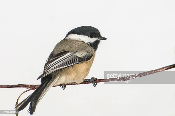 Vadnais Heights Minnesota Blackcapped Chickadee Poecile atricapillus on sitting on branch with white background