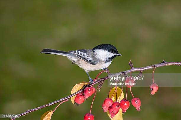 Vadnais Heights Minnesota Blackcapped Chickadee Poecile atricapillus sitting on branch with berries