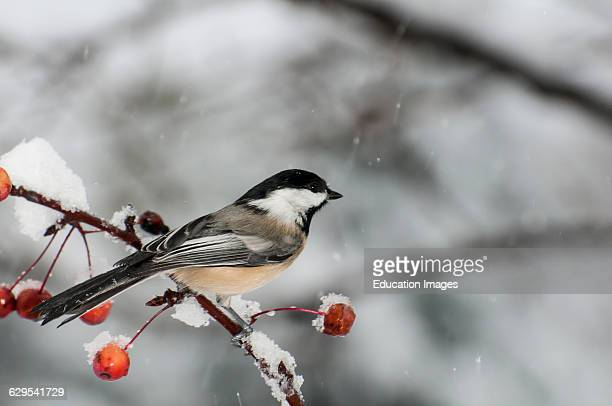 Vadnais Heights Minnesota Blackcapped Chickadee Poecile atricapillus perched on a berry branch in the winter