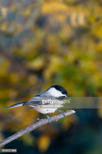 Vadnais Heights Minnesota Blackcapped Chickadee Poecile atricapillus perched on a tree branch
