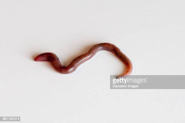 Vadnais Heights Minnesota Earthworm on white background